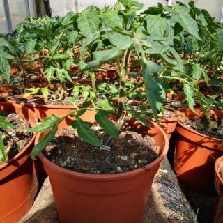 Arbres à tomates