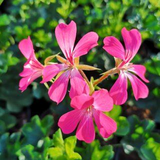 lierre rose