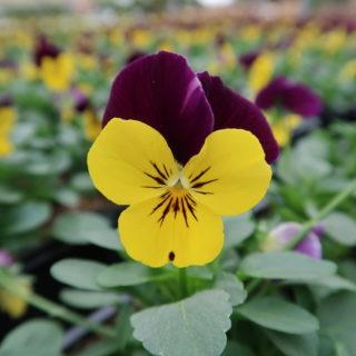 Pensées Cornuta (petites fleurs)