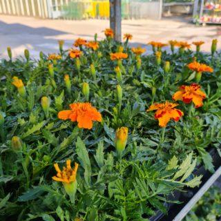 PROMO plantes à massifs (barquette de 10)